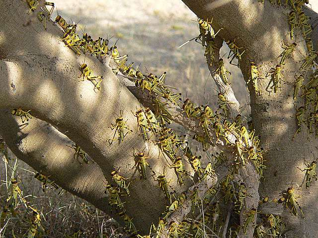 Nuée de criquets pélerins. © Chriko, Wikimedia commons, CC 4. 0 international