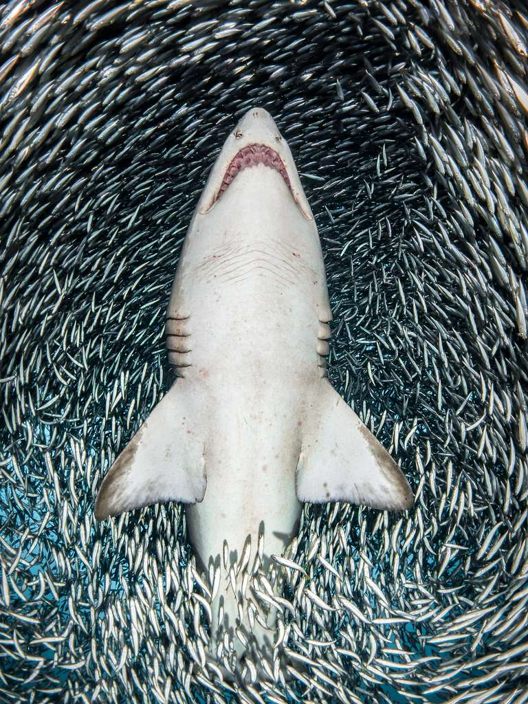 «Alors que je bougeais avec le requin dans l'eau, les poissons-appâts se sont séparés, me donnant une image claire du dessous de ce magnifique requin, et aussi l'une des expériences les plus incroyables que j'ai jamais eues en tant que photographe sous-marin», commente la photographe. © Tanya Houppermans, UPY 2018