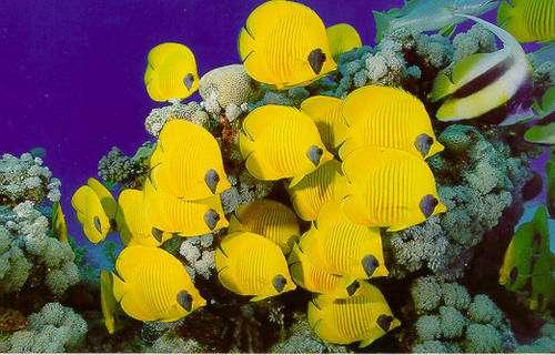 Il y a de nombreuses espèces de poissons-papillons tous plus beaux les uns que les autres - tecfa.unige.ch