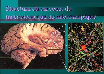 La structure du cerveau. © DR