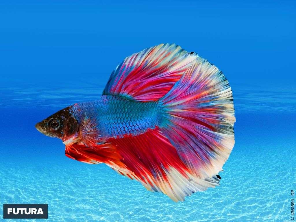Avril : la splendeur du poisson combattant betta splendes originaire d'Asie