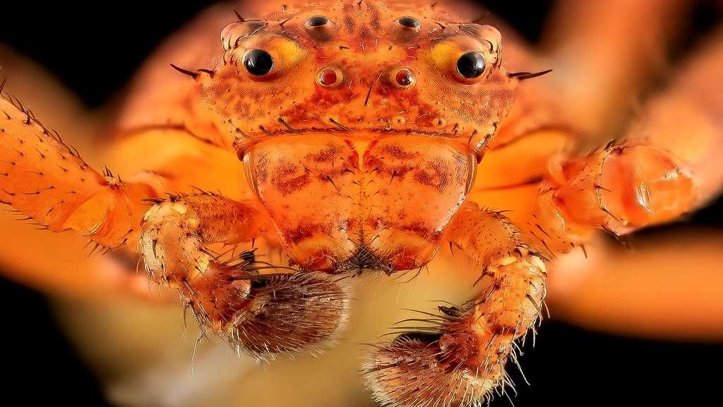 Les yeux de l'araignée-crabe