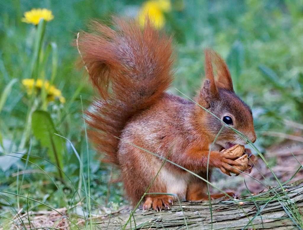 Le cannibalisme chez l'écureuil : un moyen de favoriser ses gènes. © Dušan Smetana, Unsplash