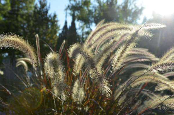 Très décoratif, le pennisetum est à découvrir. © Onkelramirez1, Pixabay, DP