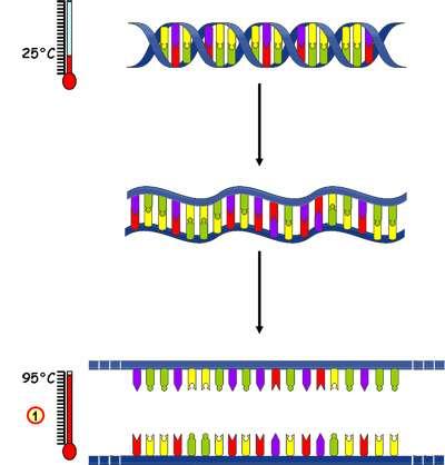 Première étape du cycle PCR, la dénaturation. Les deux brins de l'ADN bicaténaire se séparent. © Université de Strasbourg