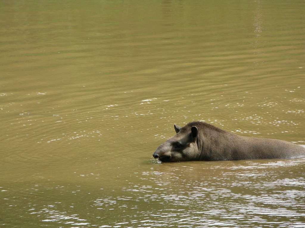 Tapir du Brésil dans son deuxième élément : l'eau. © VenturaB, Flickr, cc by 2.0