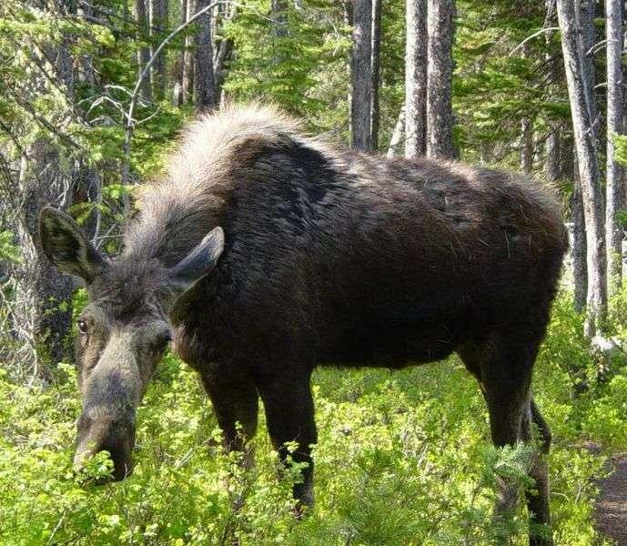 Élan femelle. © Daniel Mayer - GNU FDL Version 1.2