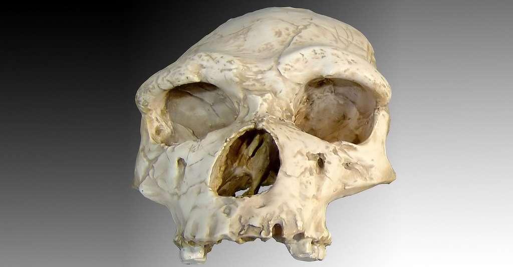 L'homme de Tautavel, un Homo erectus ou un Homo heidelbergensis ? © Luna04 - Domaine public