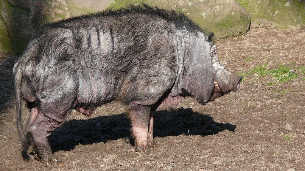 Le porc de Meishan