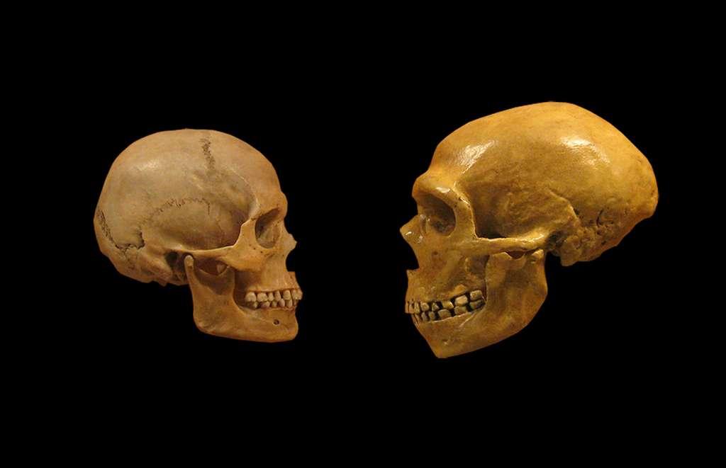 Crânes d'Homo sapiens (à gauche) et de Néandertalien (à droite). © DrMikeBaxter, wikimedia commons, CC 2.0