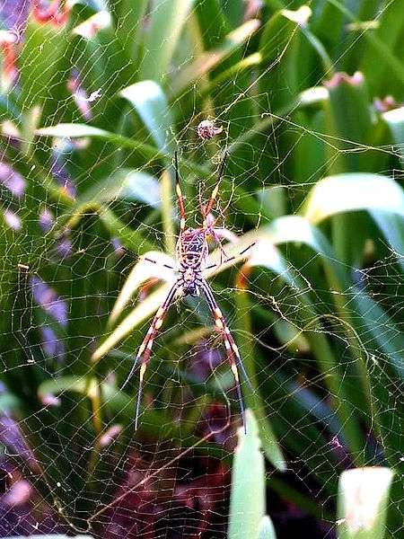 Le seul cas recensé d'une transmission d'infection serait dû à une araignée australienne qui tisse une toile dorée. © D. Gordon E. Robertson, Wikimedia Commons, CC by-sa 3.0