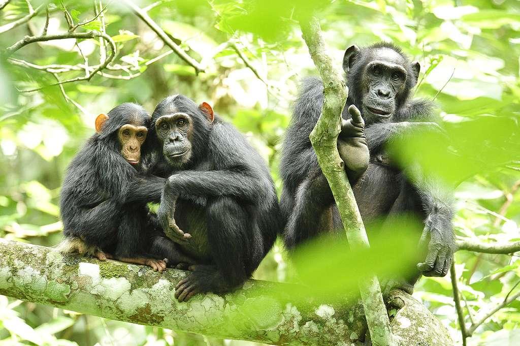 Groupe de chimpanzés dans les arbres. © USAID Africa Bureau, DP