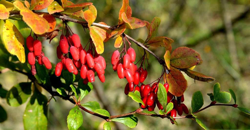Fruits du berbéris caduc. © Irina Borsuchenko, Shutterstock