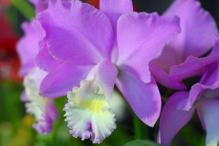 Orchidée Brassocattleya