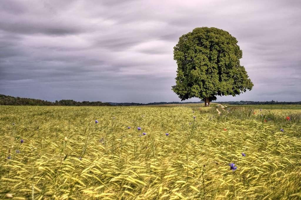 Le tilleul argenté. © Enzio Harpaintner, Flickr