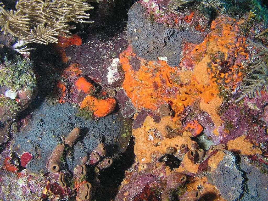 Le corail est en compétition avec les éponges, les algues et les bactéries. Paradoxalement, c'est aussi grâce à ces espèces qu'il peut se développer en récif. © Matthew Hoelscher, Wikipédia, cc by sa 2.0