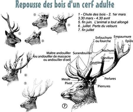 Bois cerf d'après Bonnet et Klein, Hatier