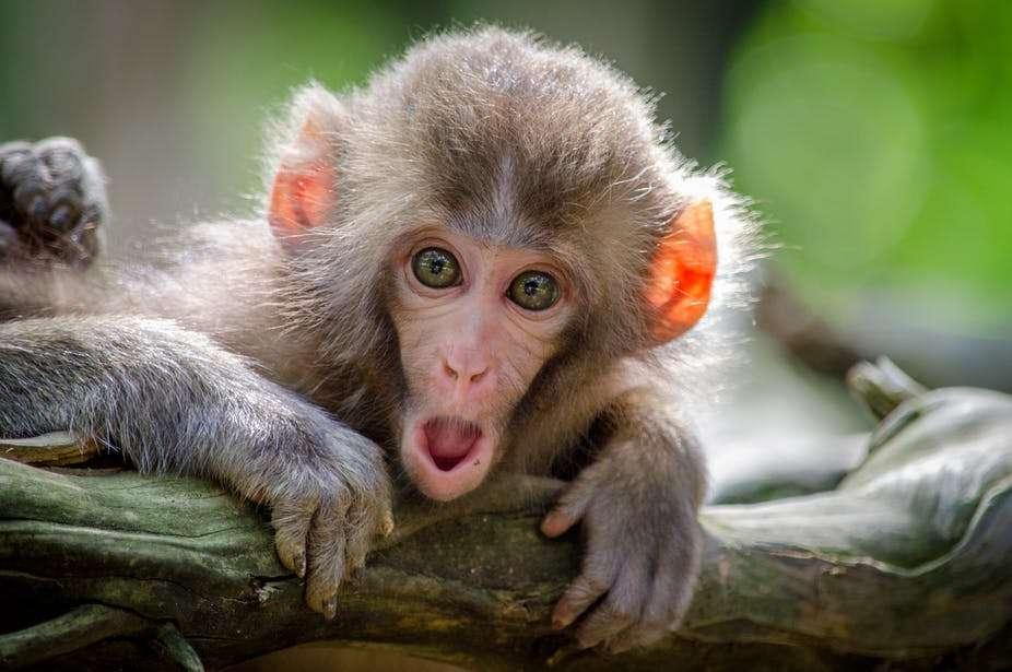 Quand les vocalisations des singes nous renseignent ! © Jamie haughton, Unsplash, CC by-sa