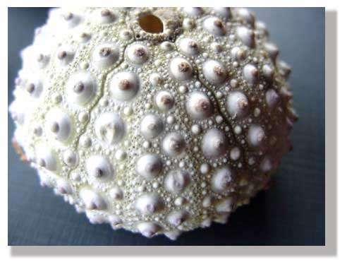 La surface de cet oursin présente des cônes et des irrégularités faisant penser à des colliers de perles. © Philippe Mespoulhé