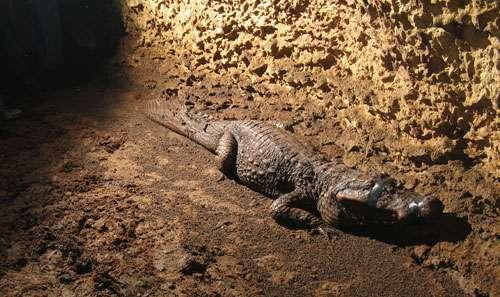 Un crocodile surpris au fond de la grotte où il vit. Mais comment est-il arrivé là ? Et de quoi se nourrit-il ? © Olivier Testa