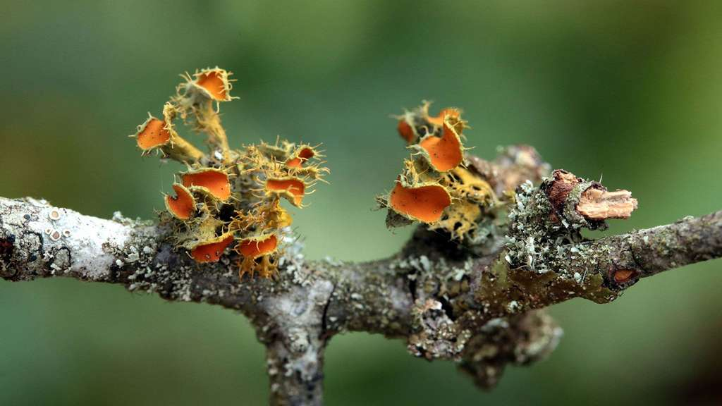 Lichen fruticuleux