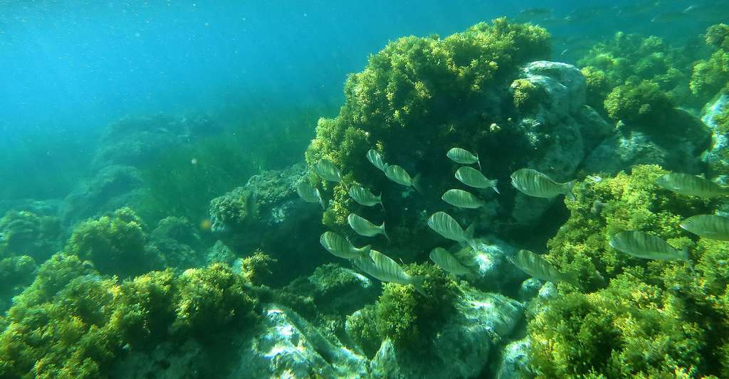 Les posidonies sont des plantes aquatiques de la famille des Posidoniaceae. Bien qu'elles vivent sous l'eau, ce ne sont pas des algues, mais des plantes à fleurs (angiospermes) monocotylédones sous-marines. © Nachosan, CC BY-SA 3.0