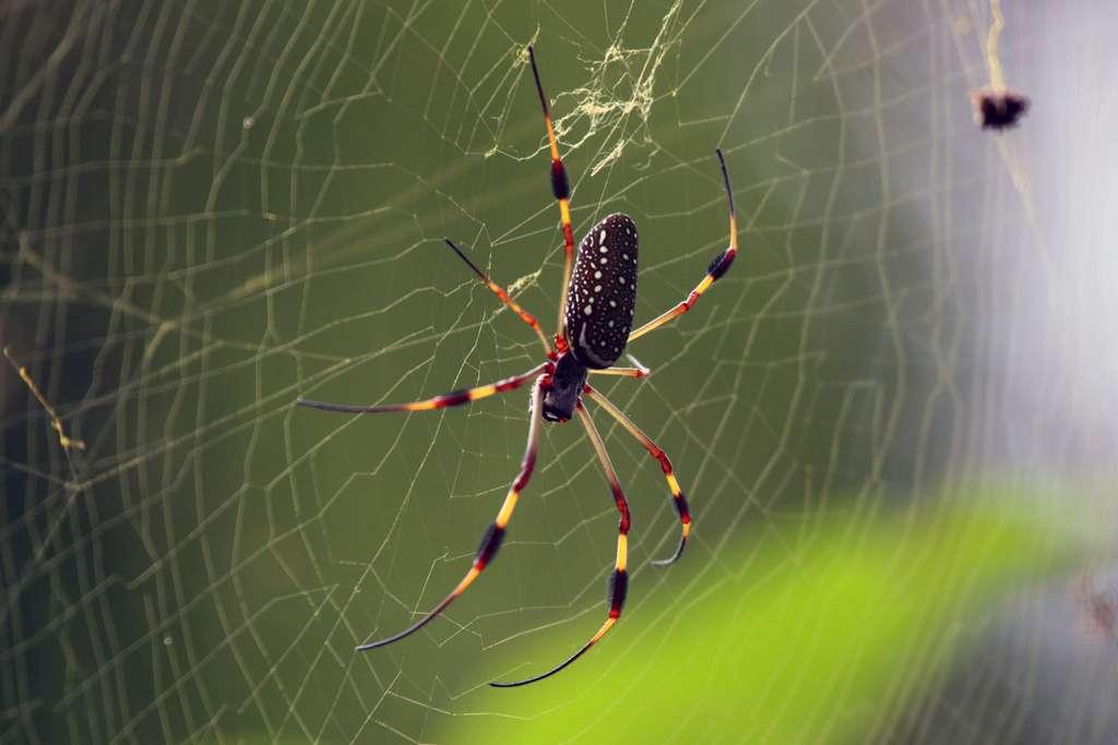 Des araignées Nephila clavipes, comme celles ayant séjourné à bord de l'ISS en 2011. © Charles J Sharp