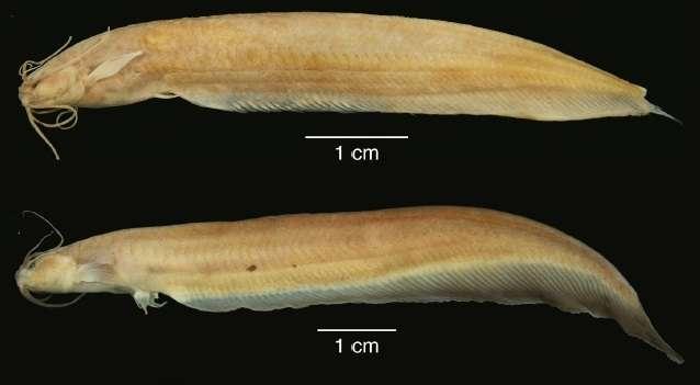 Les photographies de deux spécimens de K. shajii : le petit poisson mesurant moins de 10 cm n'a pas de nageoire dorsale mais une longue nageoire anale. © Lundberg et al., 2014. Proceedings of the Academy of Natural Sciences