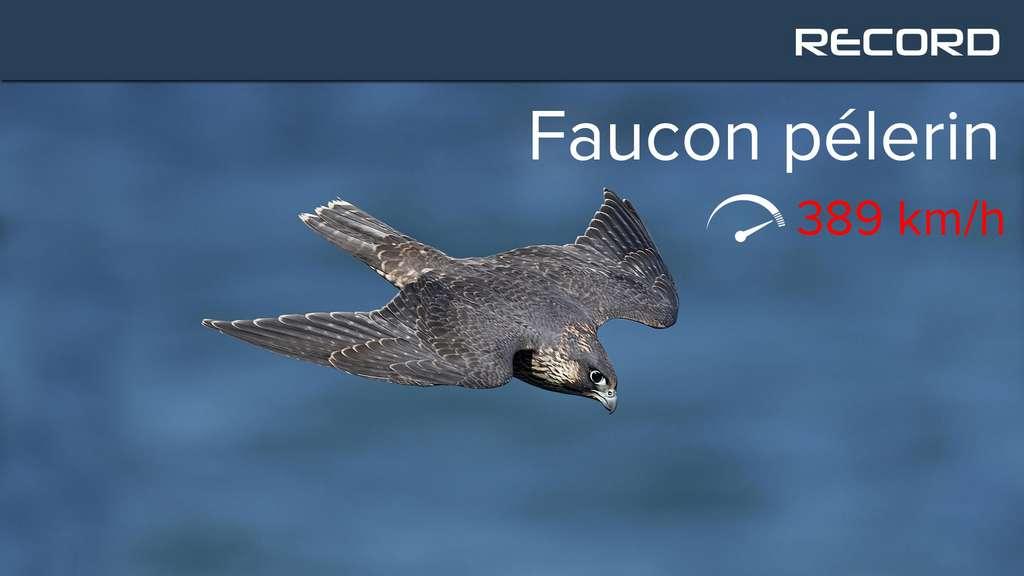 Le faucon pèlerin pointe à plus de 300 km/h