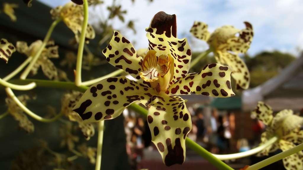Les espèces d'orchidées menacées