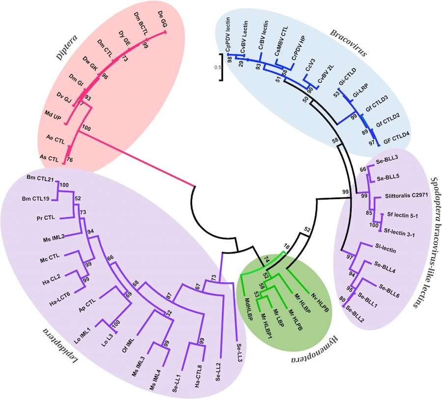 Arbre phylogénétique des bracovirus-lectine comme les protéines provenant de différentes espèces de Spodoptera et de leurs homologues de bracovirus des hyménoptères, lépidoptères et diptères. © 2015 Gasmi et al., PLOS Genetics