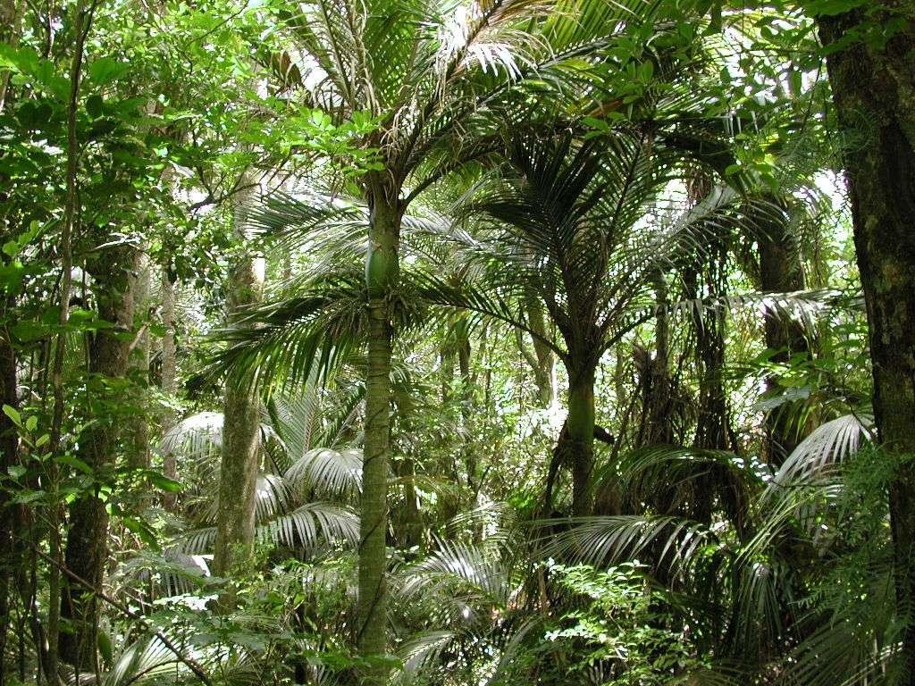 Palmiers Nikau, l'équivalent néo-zélandais du cocotier… mais il n'a pas de fruits comestibles. © Pseudopanax, Wikimedia commons, DP