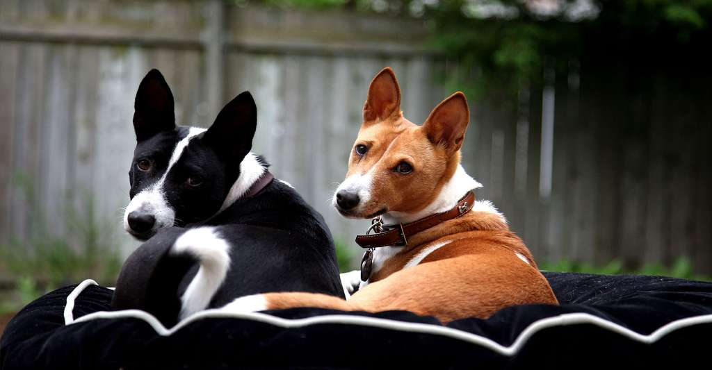 Basenji ou terrier du Congo. © Kelly Caldwell, Flickr, CC by-nc 2.0