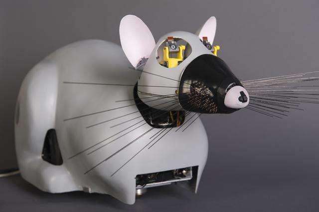Psikharpax, le robot-rat, qui développe tout seul des capacités, par apprentissage. © CNRS Photothèque/ISIR/Rajau Benoît