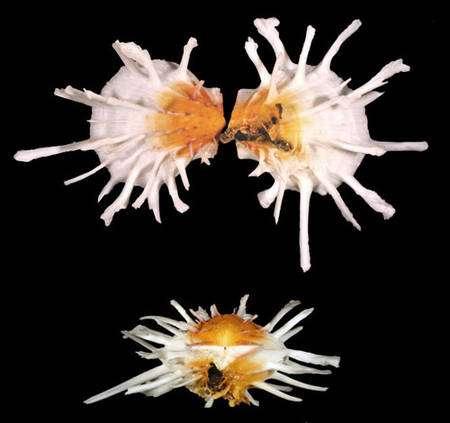 Fig. 3 : Spondylus americanus. © Jean-Pierre Pointier - Tous droits réservés