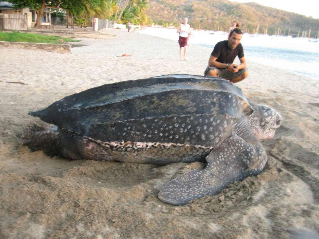 La nouvelle espèce fossile Carbonemys cofrinii affiche des dimensions impressionnantes pour une espèce d'eau douce. Des tortues marines actuelles, telles que cette tortue luth, peuvent tout de même atteindre 2 mètres de long. © annemanudebouv, Flickr, CC by-nc-sa 2.0