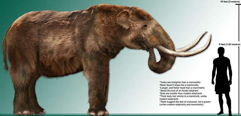 Disparu voici 10.000 ans, le mastodonte américain était plus petit que les mammouths, malgré ses 3 m de haut. © Dantherman9758, Wikimedia Commons, cc by 3.0