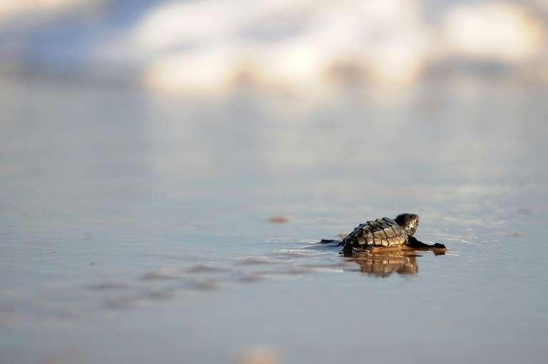 Le temps d'incubation des œufs varie généralement entre 50 et 65 jours. L'éclosion est arrivée un peu plus tôt. © Evaristo SA, AFP, Archives