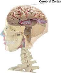 Il ressort d'une étude récente que le cortex des enfants dont les QI sont les plus élevés s'épaissit davantage, et pendant une plus longue période, que les autres