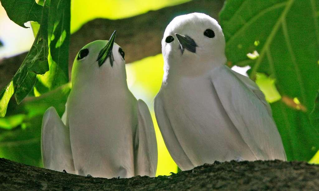 Couple de gygis blanches aux Seychelles