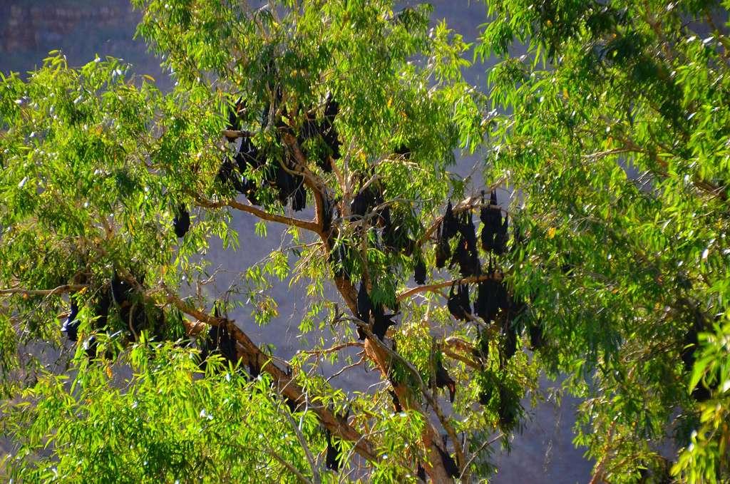 En Australie, au moins quatre espèces de renards volants peuvent transmettre le lyssavirus de la chauve-souris australienne. Il est donc demandé à la population de ne pas approcher les chiroptères tombés au sol ces derniers jours, car certains sont encore en vie. © Austronesian Expeditions, Flickr, CC by-nc-nd 2.0