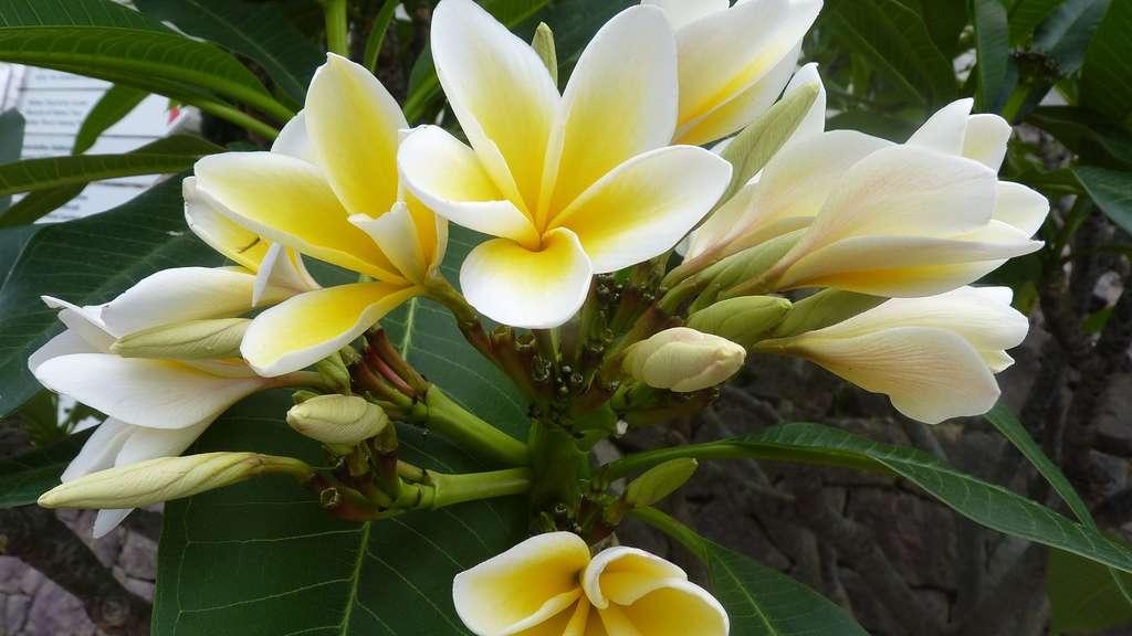 Les fleurs parfumées des frangipaniers