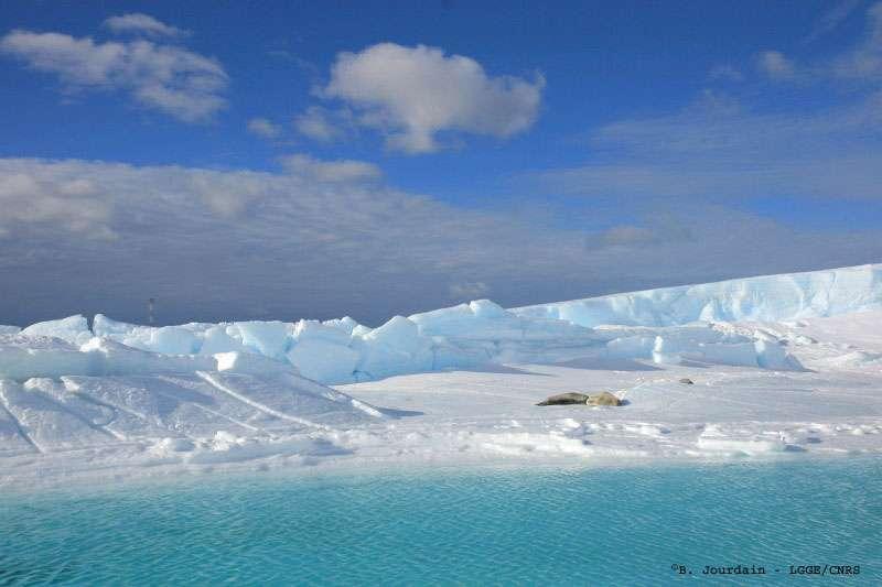 Paisibles, des phoques de Weddell se reposent sur un lambeau de banquise