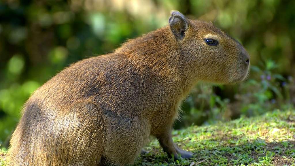 Le capybara, plus gros rongeur du monde