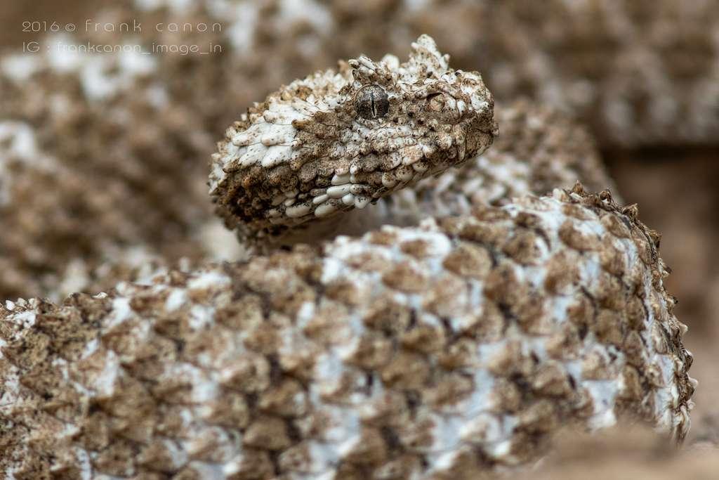 La vipère à queue d'araignée est une espèce endémique qui vit seulement en Iran, dans les provinces d'Ilam et de Kermanshah. Sa queue ressemble à une araignée. Elle se nourrit d'oiseaux migrateurs. © Frank Deschandol