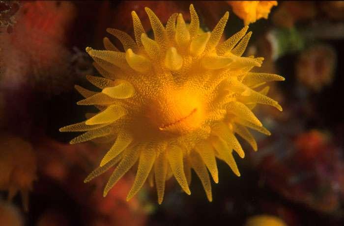 Corail solitaire jaune - Ile du Levant