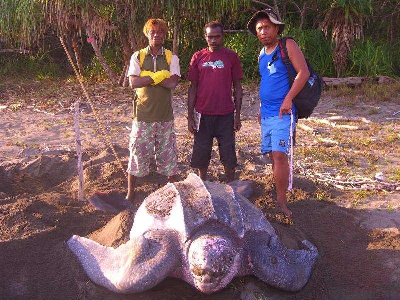 Une tortue luth sur la plage de Jamursba Medi, en Indonésie. Derrière à droite, Ricardo Tapilatu. C'est le principal investigateur de l'étude. Natif de Papouasie, il travaille depuis 2004 sur cette espèce de tortues. Il effectue actuellement son doctorat à l'University of Alabama. © UAB
