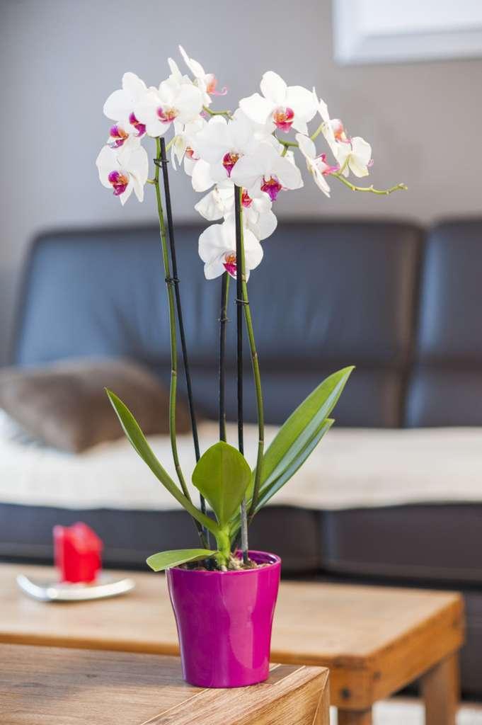 L'orchidée est une fleur élégante. Ici, Phalaenopsis ou orchidée papillon. © F. Marre, Rustica