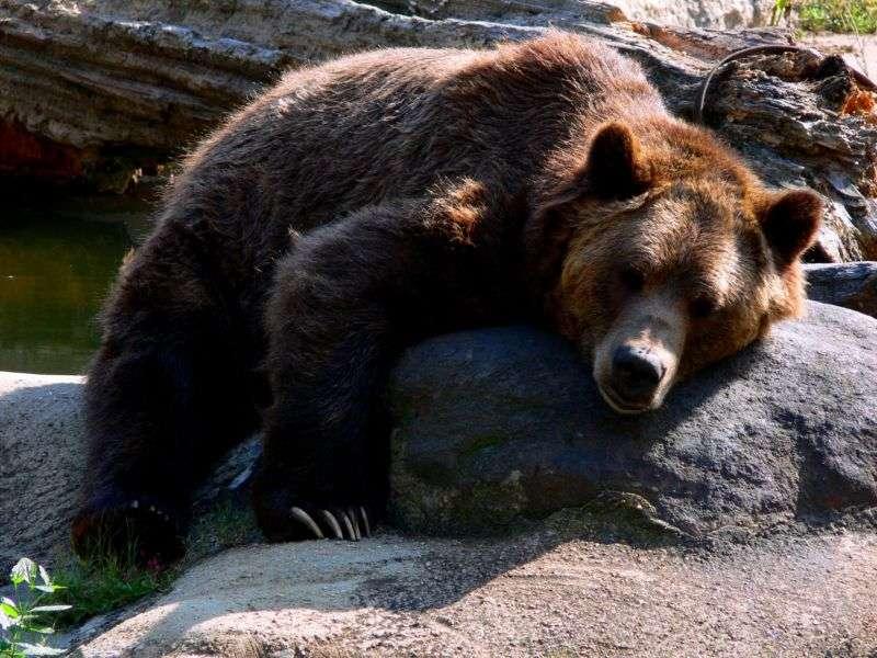 Ce grizzly a l'air d'avoir d'autres préoccupations que de s'intéresser aux règles des femmes. © Pogrebnoj Alexandroff, Wikipédia, cc by 1.0