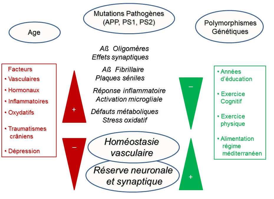 Les facteurs de risque de la maladie d'Alzheimer ne sont pas seulement influencés par des mutations autosomiques dominantes. © DR